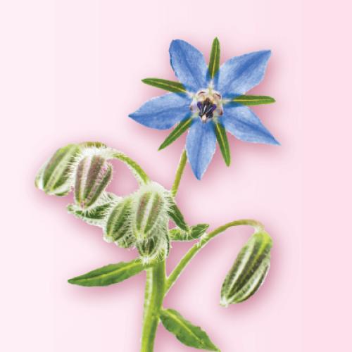 ボラージ花